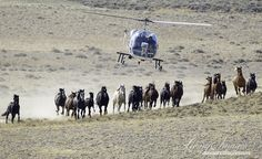 Wild Horses: Please Comment on Proposed Destruction of Red Desert Wild Horse Herds