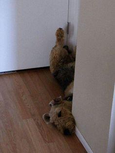 Airedale Sleep Position # 144