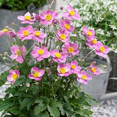 Anemone Fantasy 'Cinderella' Growing Conditions: Full sun Size: 12–18 inches tall, 18–24 inches wide Zones: 5–8 Grow it with: Chrysanthemums