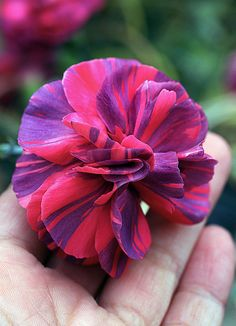 Dianthus 'Chomley Farran' in hand   Flickr - Photo Sharing!