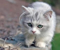 Like all pets, cats thrive best when they are fed well by their owners. In the absence of such a dietary plan, cats will become malnourished or overweight. Pretty Cats, Beautiful Cats, Animals Beautiful, Pretty Kitty, Gorgeous Eyes, Animals And Pets, Baby Animals, Cute Animals, Cute Cats And Kittens