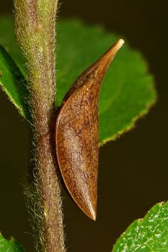 Spittlebug (Philagra sp., Aphrophoridae) by John Horstman