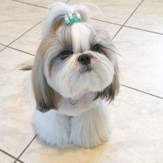 shih tzu grooming styles #shihtzu