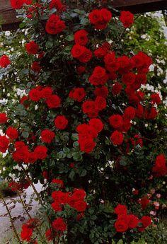 Rosen in Rot / Roses in Red - Sympathie