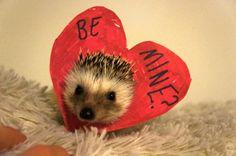 valentine hedgehog <3