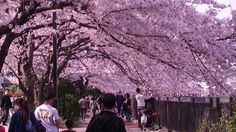 Hanami | yokohamamama: Hanami-- Cherry Blossom Viewing