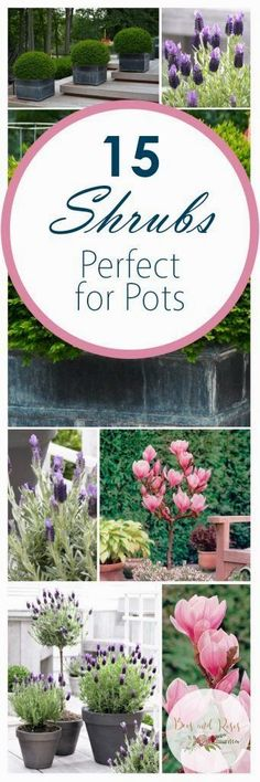 15 Shrubs Perfect For Pots | Container Gardening | Try planting these 15 shrubs that are perfect for growing in pots and containers. #ContainerGarden