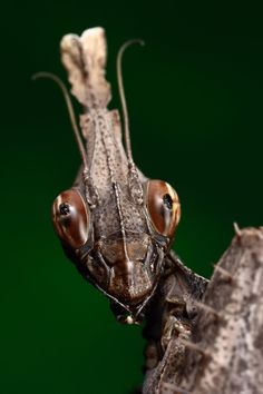 mug_shot_violin_mantis_by_macrojunkie.jpg (900×1350)