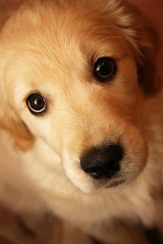 Golden Retriever #Dogs #Puppy by Olive Oyl