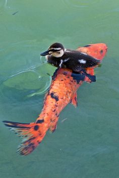 Baby duck hitches a ride on a Koi fish. (Also in Koi) Animals Images, Animals And Pets, Baby Animals, Funny Animals, Cute Animals, Funny Birds, Duck Pictures, Animal Pictures, Cool Pictures