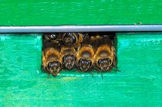 Safe For Brood Small Hive Beetles No Pesticides 5x Better Beetle Blaster