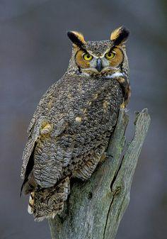 Owl, Great Horned, 8x10 Bird Photograph, Wildlife Nature Photo, Wild Animal…                                                                                                                                                                                 More