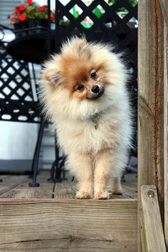I am totally adopting a Pomeranian after I graduate from College (;