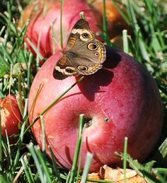 Even the apples that fall from the tree are not wasted.  Common Buckeye Butterfly  Subfamily: True Brushfoots (Nymphalinae)  Apples