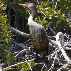 pictures of birds of north america   double-crested-cormorant-13.jpg