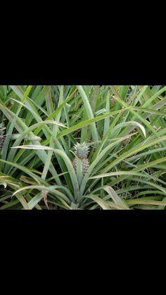 Pineapple field on island of Moorea. French Polynesia , Tahiti