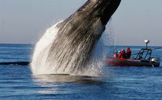 Ver saltar a una ballena jorobada de alegría (a tu lado) Estas increíbles imágenes han sido tomadas por Christine Callaghan en la costa de ...