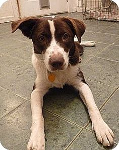 Maumelle, AR - Australian Shepherd/Hound (Unknown Type) Mix. Meet carfd - Addie, a dog for adoption. http://www.adoptapet.com/pet/11492439-maumelle-arkansas-australian-shepherd-mix
