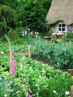 Foxgloves in the vegetable garden