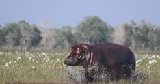 African elephant, hippo, rhino populations shrink in wartime
