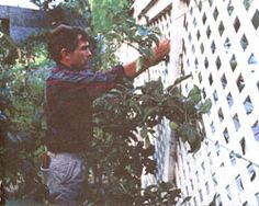 How to choose the right variety of apple, then train it into an espalier. The six basic styles of espalier are shown.