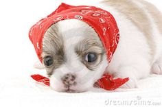 A cute bandana for a cute chi