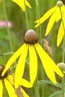 """""""Drooping Coneflower, Gray Coneflower, Prairie Coneflower (also applied to R. columnifera), Weary Susan, Grayheaded Coneflower""""    Origin of the name Ratibida is not known. Pinnata comes from the Latin word meaning """"featherlike          Click Here for Detailed Info"""