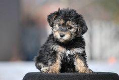 A Cavachon Puppy!!!