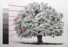 How to draw a realistic tree using a structured approach. This drawing technique can applied to any tree. Tree Drawings Pencil, Pencil Trees, Value Drawing, Contour Drawing, Figure Drawing, Painting & Drawing, Drawing Trees, Drawing Techniques, Drawing Tutorials