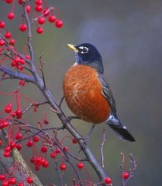 Beautiful Image Of Wisconsin Robin State Bird Perched On Berry Bush Picture The Ground Photo Pretty In Grass Lookin