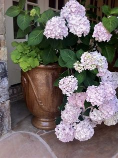 "Wallace Gardens shares Hydrangeas fed Authentic Haven Brand ""Moo Poo Tea"""