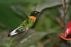 Gould's Inca - Coeligena inca - this species of hummingbird of the family Trochilidae is found in humid Andean forest of south-eastern Peru and Bolivia
