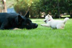 Mame Shiba puppy! Shiba Puppy, Shiba Inu, Animals Beautiful, Cute Animals, Pet Collars, Dachshunds, Boxers, Lily, Puppies