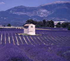 Lavender Fields, Provence, France | 21 Most Colorful And Vibrant Places In The World