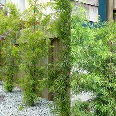 podocarpus gracilior columnar for the side neighbor planting, use the espaliered for front planter screen BM