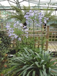 Buy Agapanthus africanus, African blue lily, online plants for sale, at Urban Jungle plant nursery via mail order. Agapanthus Africanus, Blue Plants, Tropical Garden, Conservatory, Perennials, South Africa, Lily, Leaves, Wedding Ideas