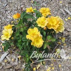 Bill Reid rose bush Bill Reid, Dubai Miracle Garden, Shrub Roses, Rose Bush, Canadian Artists, Cnd, Garden Styles, Beautiful Roses, Yellow Flowers