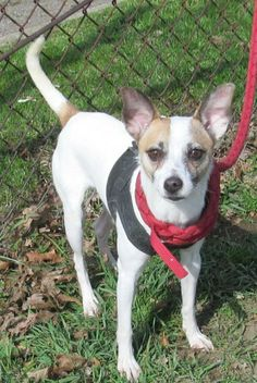 "ADORABLE LITTLE CHIHUAHUA ""PIP"" IS WAITING FOR LOVE & TLC!!!! CANTON, OHIO>..Meet 52 Pip a Petfinder adoptable Chihuahua Dog 