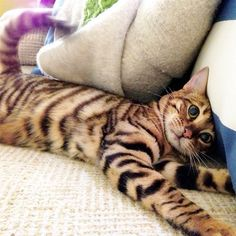 toyger cat (toy tiger)