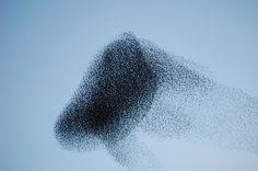 starling-murmuration-13