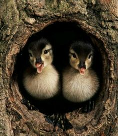 Wood ducks have nested in our big old trees for years now.  They simply push the babies to the ground when they are big enough and off they go to the pond...... ...or.... your could install a Duck House for them to use for nesting! http://www.birdlodges.com/wood-duck-hooded-merganser-house.html