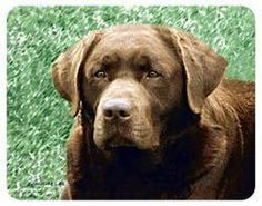 Chocolate Lab Coasters by Lumalack. $12.95. The ultimate Chocolate Labrador Retriever dog coasters. Friends and family will enjoy the beautifully detailed Chocolate Labrador Retriever image printed on our popular coasters. The poly canvas surface on the Chocolate Lab coasters are easy to clean and the rubber base provides great tabletop protection. A wonderful gift for all dog and Chocolate Labrador Retriever enthusiasts. The set of four Chocolate Labrador Retriev...