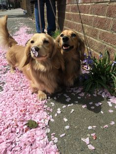 They are so adorable. Two beautiful dachshunds out for a stroll taking time to spell the flowers. We as humans should take note.....We should enjoy life and stop and smell the flowers sometimes.