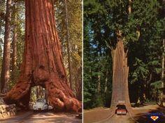 Albero secolare con sottopasso nel tronco