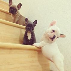 Someone get me a french bulldog for Christmas.