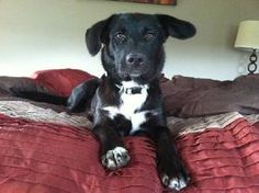 Bella is an adoptable Border Collie Dog in Tyrone, PA. Hi, I'm Bella! I was found running as a stray on 7/20/13. I wasn't wearing a collar and wasn't microchipped. Lost ads were posted but my family d...