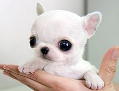 omg! These are for real?? teacup chihuahua