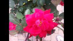 Rose bush in my backyard
