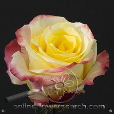 Image result for rose optical sunset