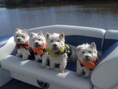 Love my sister's West Highland terriers - here they are in the pontoon boat in their little life jackets.